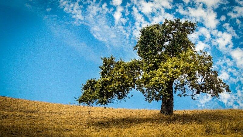 An oak tree in a field beneath a blue sky