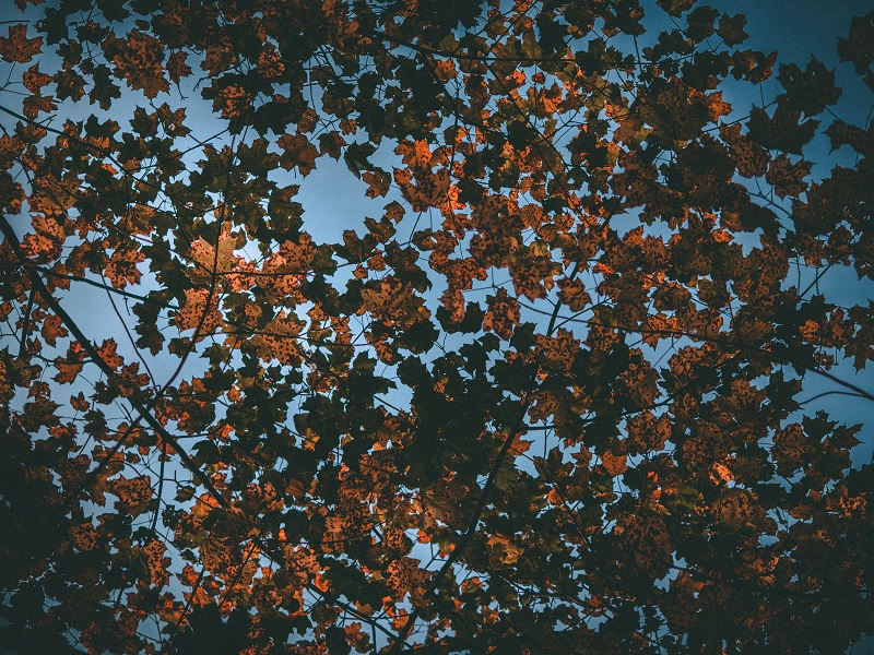 view of an autumnal tree from below
