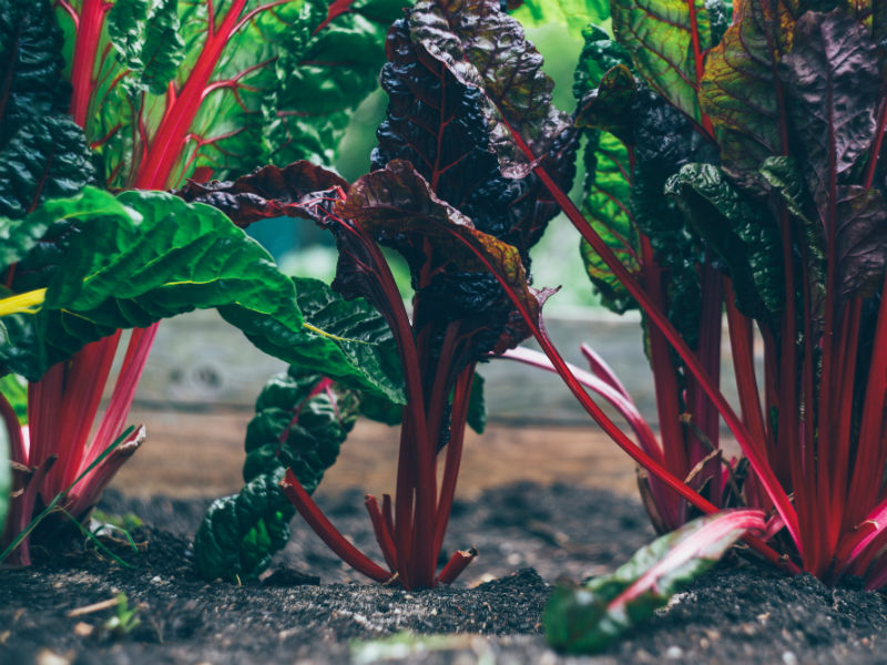 gardening as grief therapy - bright chard winter greens growing