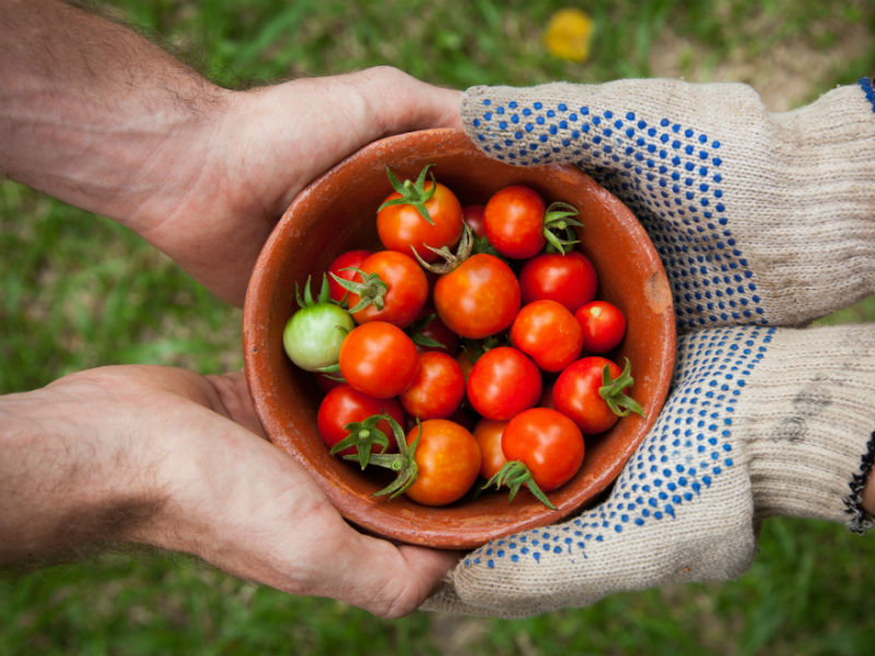 gardening as grief therapy- a tomato harvets in a plant pot