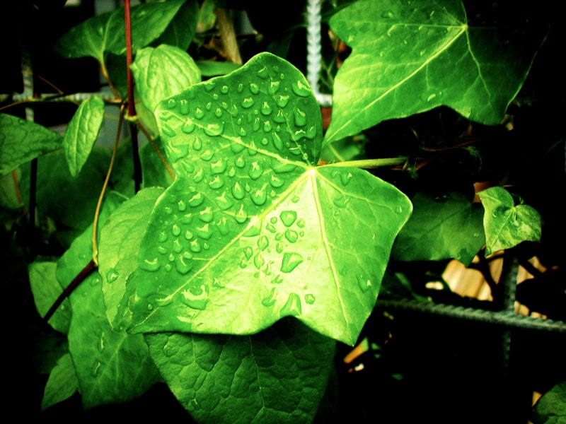 Raindrops on ivy leaves
