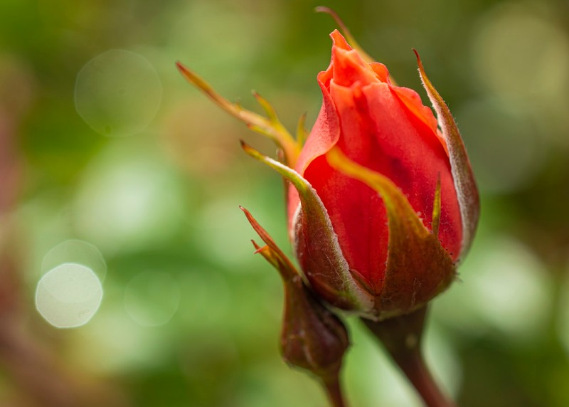 photo of red-orange rose bud about to open