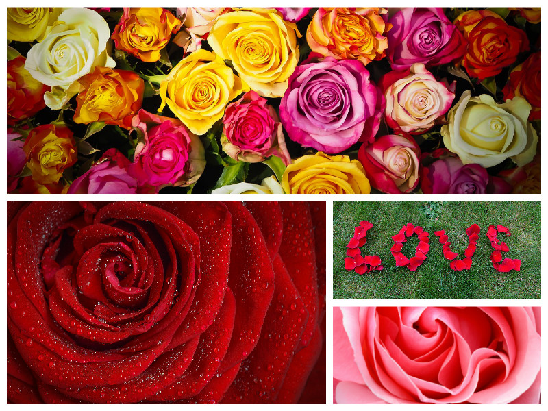 A photo montage of different remembrance roses