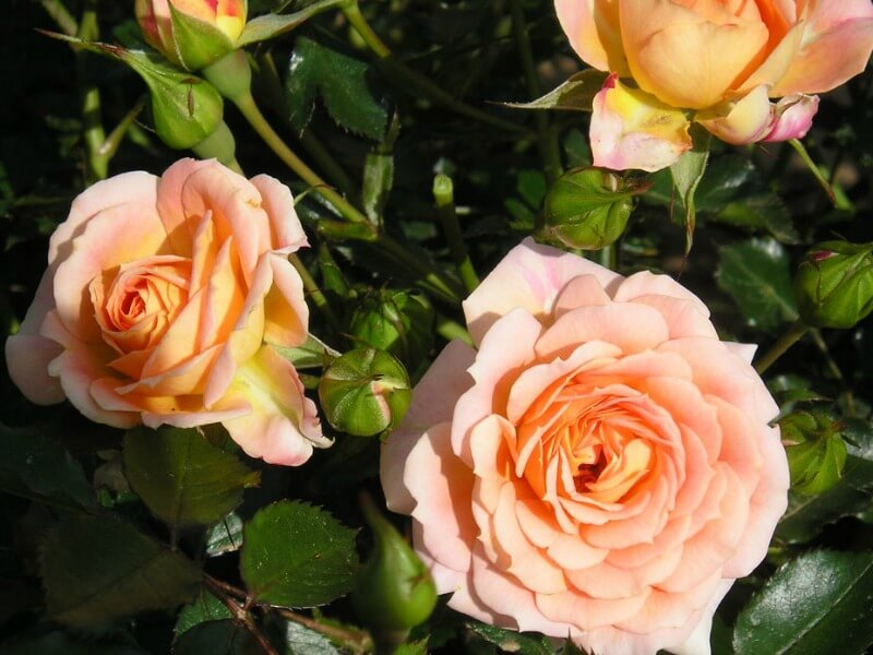 Peach-coloured remembrance rose