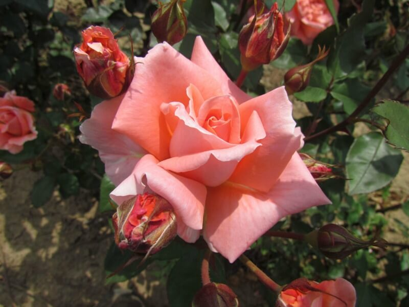 Salmon-pink coloured rose
