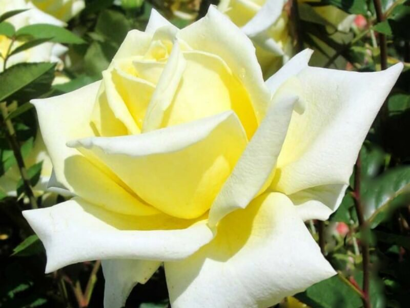 Very pale yellow rose bloom