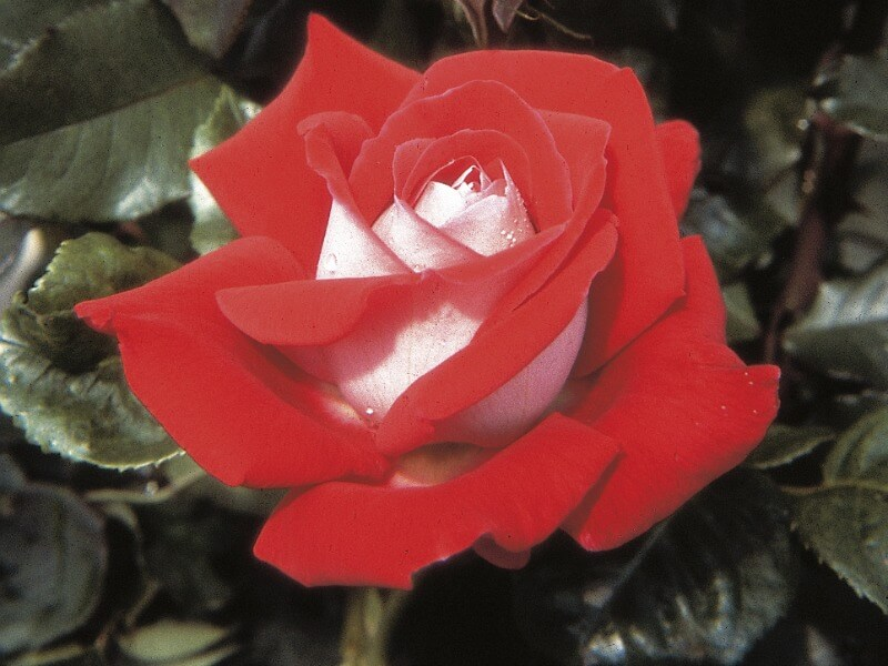 Red rose with silver outer petals