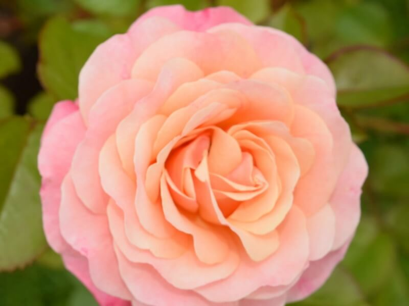 Peach and apricot coloured rose