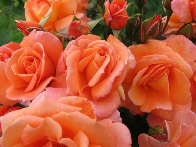 Orange remembrance rose
