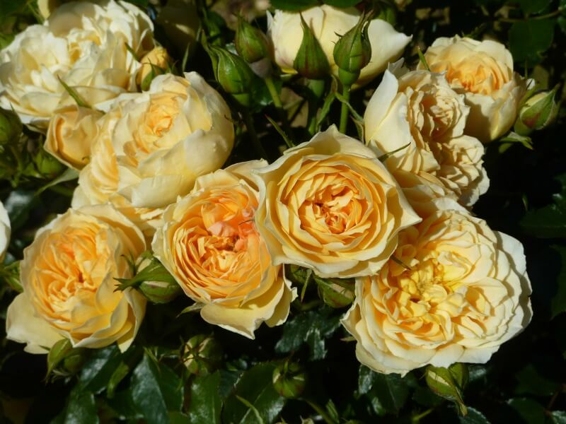 13 beautiful remembrance roses to plant in loving memory funeral zone pale yellow rose in full bloom mightylinksfo
