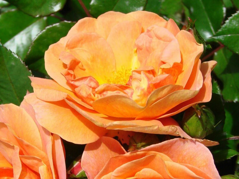 Bronze and orange rose bloom