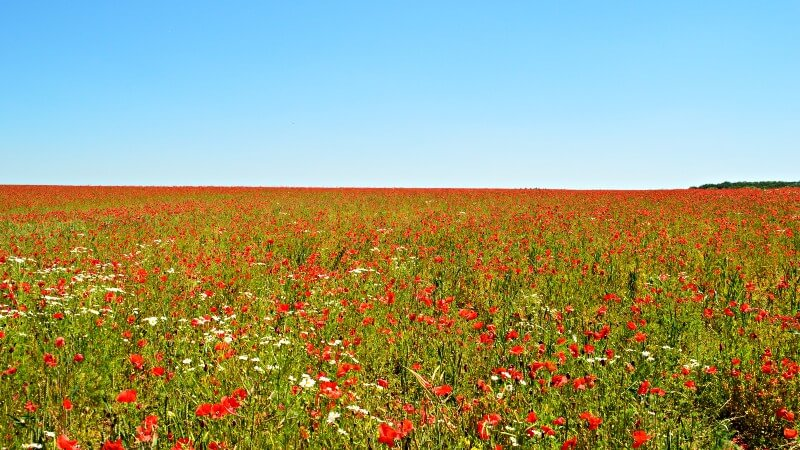 photo of poppy field in Flanders
