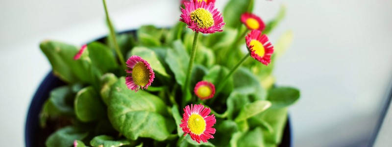 Potted plant with pink flowers