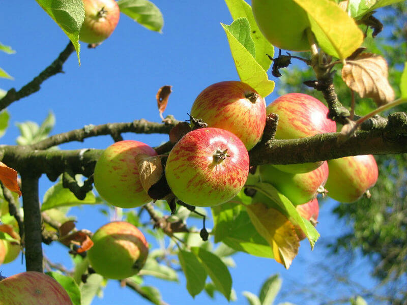 Apples hanging from the branch of an apple tree