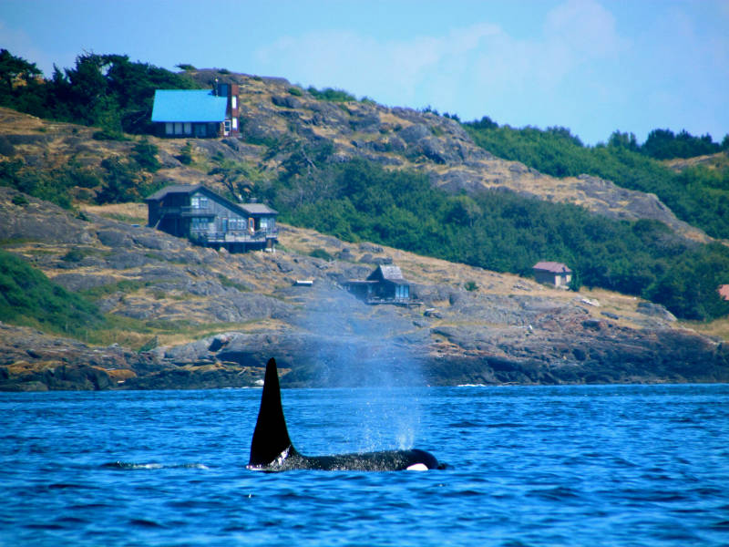 Killer whale surfacing off the coast of the San Juan Islands
