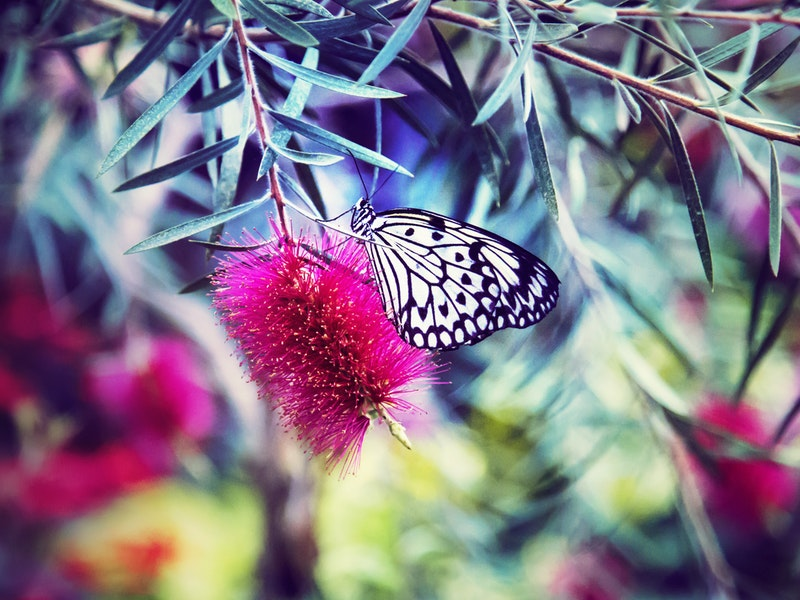 A butterfly sipping nectar from a bottlebrush