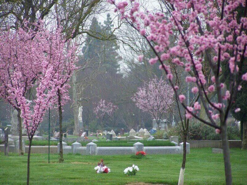 Cherry blossom in bloom at Davis Cemetery