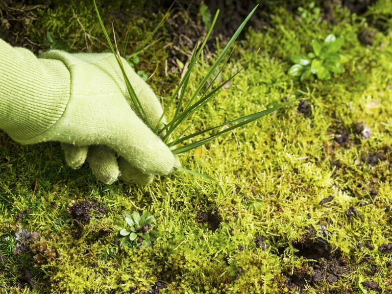 A gloved hand pulling weeds and moss