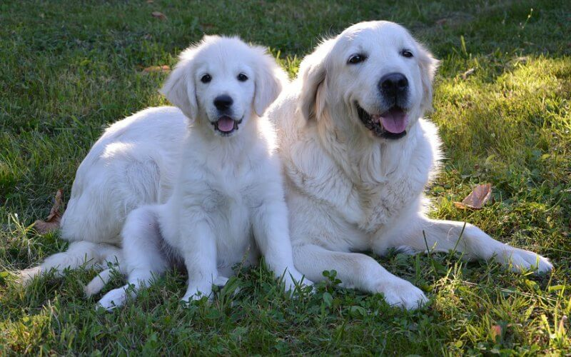 A golden retriever guide dog and puppy in training