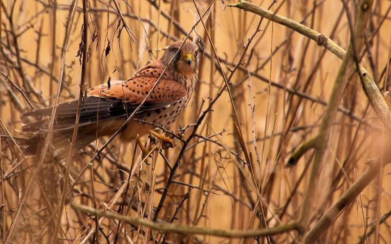 Kestrel perched in branches on a nature reserve