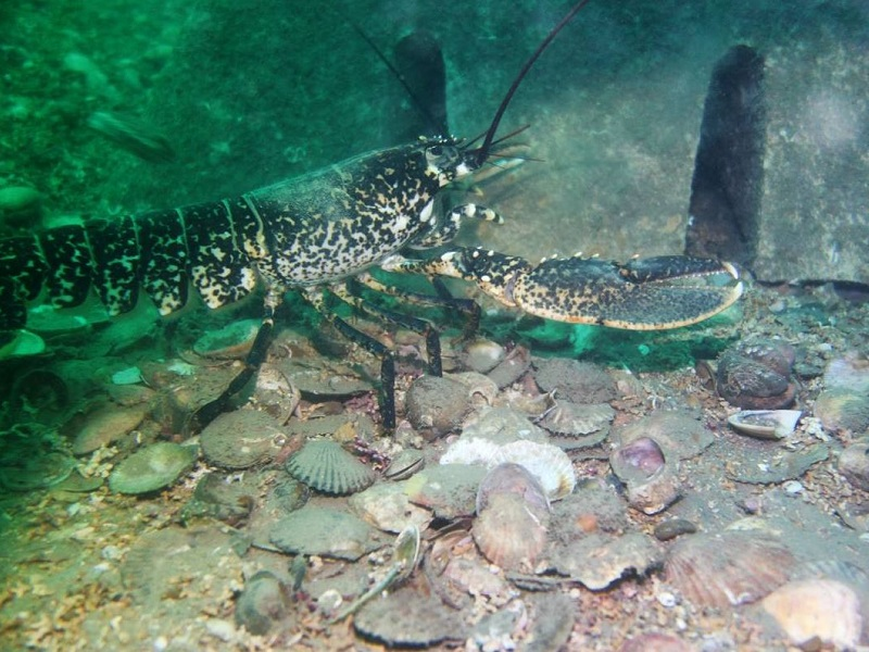 picture of a lobster on the reef