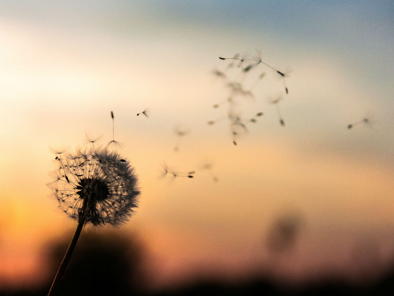 Bereaved dads Father's Day -dandelion
