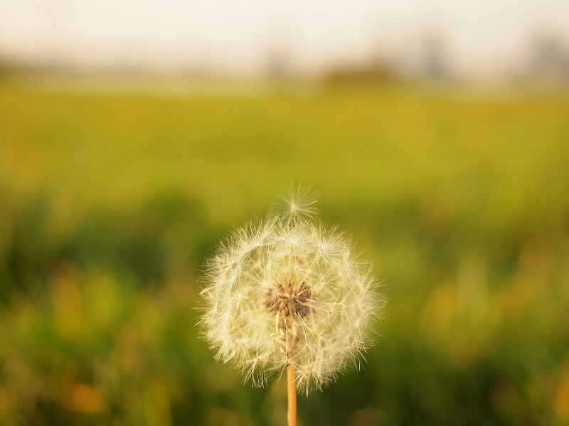 Bereaved dads Father's Day- dandelion clock