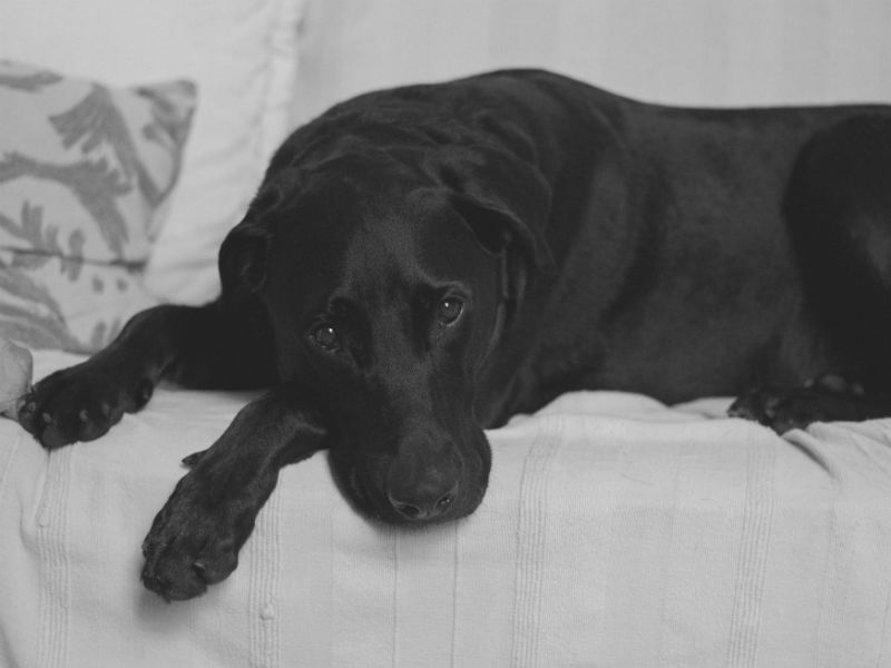 who will look after my dog when I die black labrador