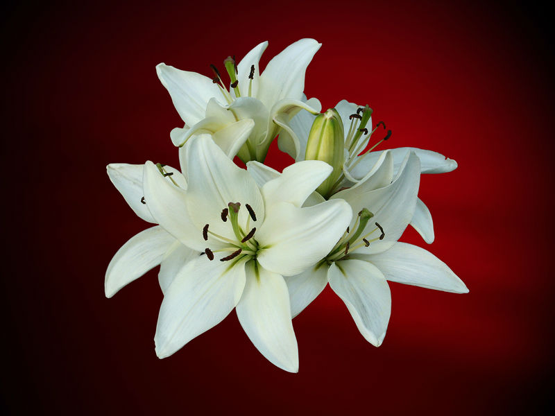 white lilies for funerals