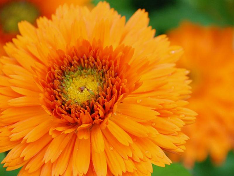 Marigolds for funerals