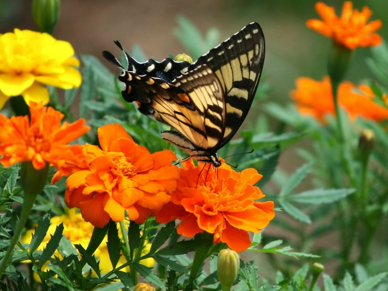 A butterfly sips nectar from marigolds