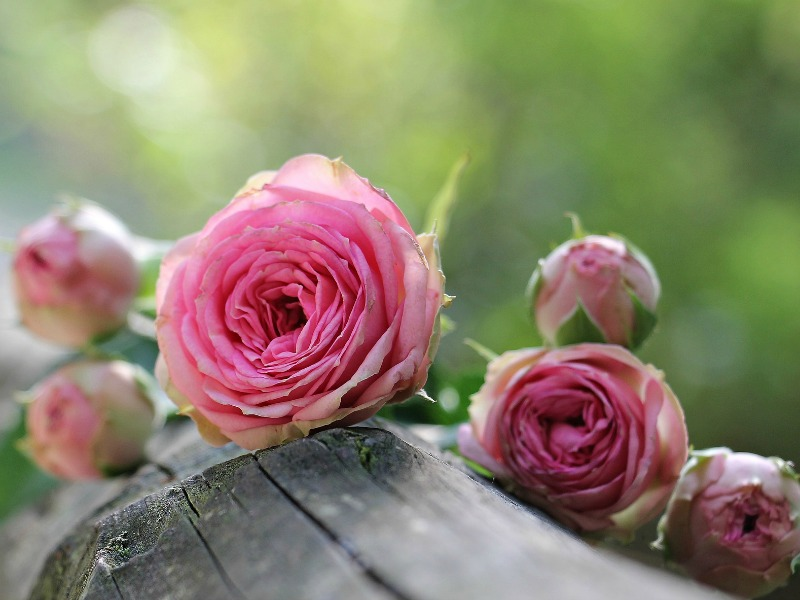 Old-fashioned style pink roses
