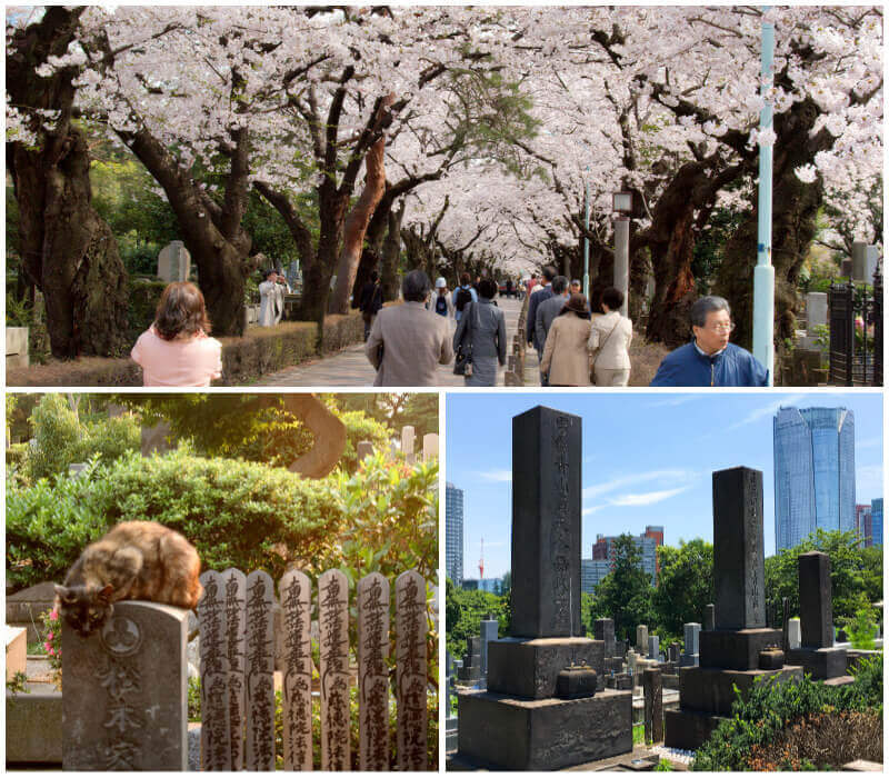 Cherry blossoms in Aoyama Cemetery, Tokyo