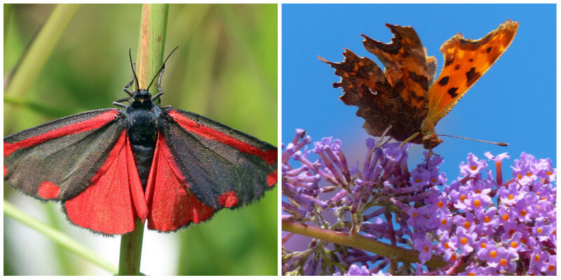 Bright red Cinnabar moth and a speckled Comma butterfly in a cemetery nature reserve
